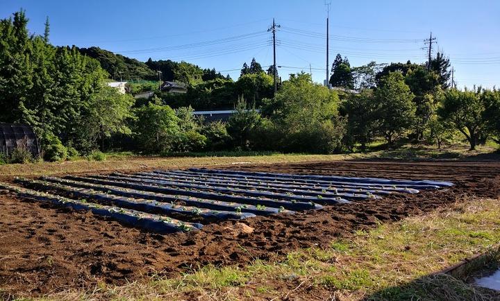 0524サツマイモ畑1