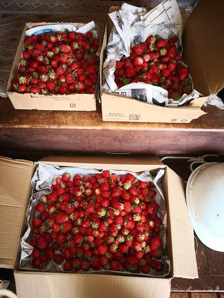 0523いちごの収穫
