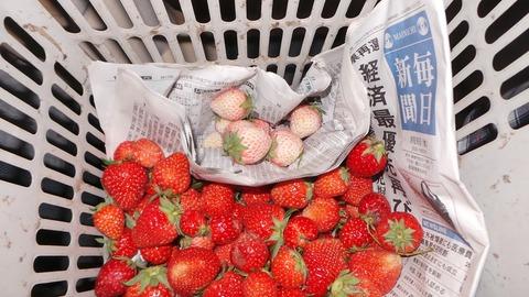 0602白いイチゴ.jpg