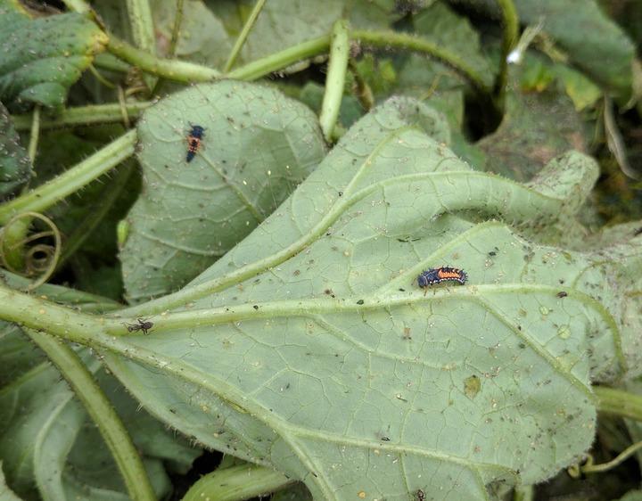 0629メロンの虫P.jpg