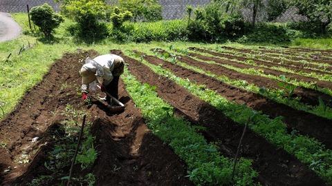 0611サトイモ畑その3.jpg