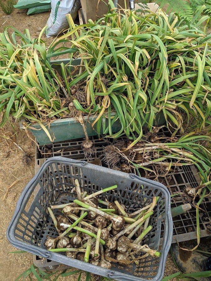0607ニンニク収穫1