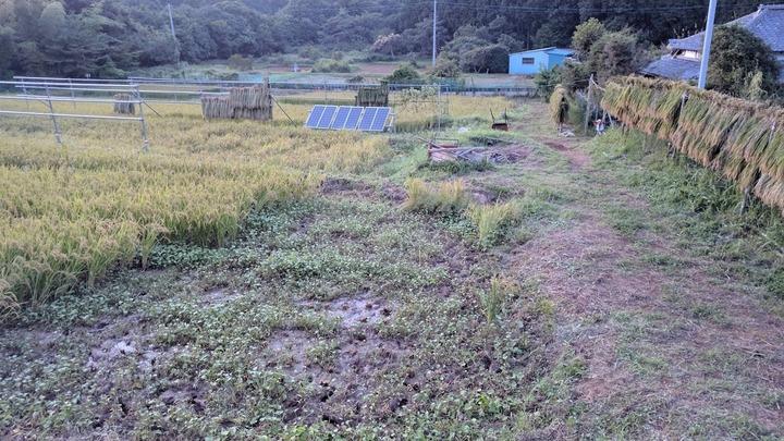 0909イネ刈り2