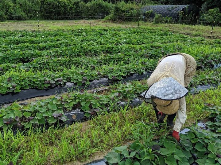 0801芋畑0