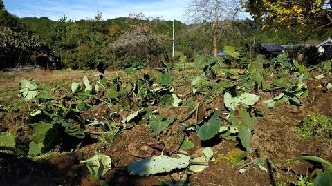 1121サトイモ収穫3.jpg