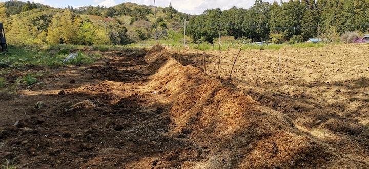 0424自然薯植え付け2