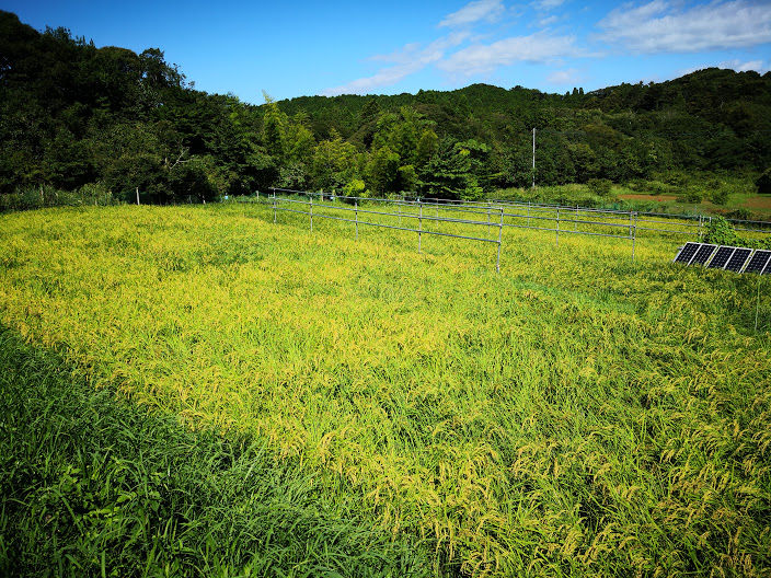 0817田んぼの稲