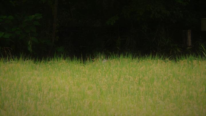 田んぼのアオサギ
