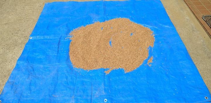 0623小麦天日干し