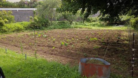 0611サトイモ畑その5.jpg