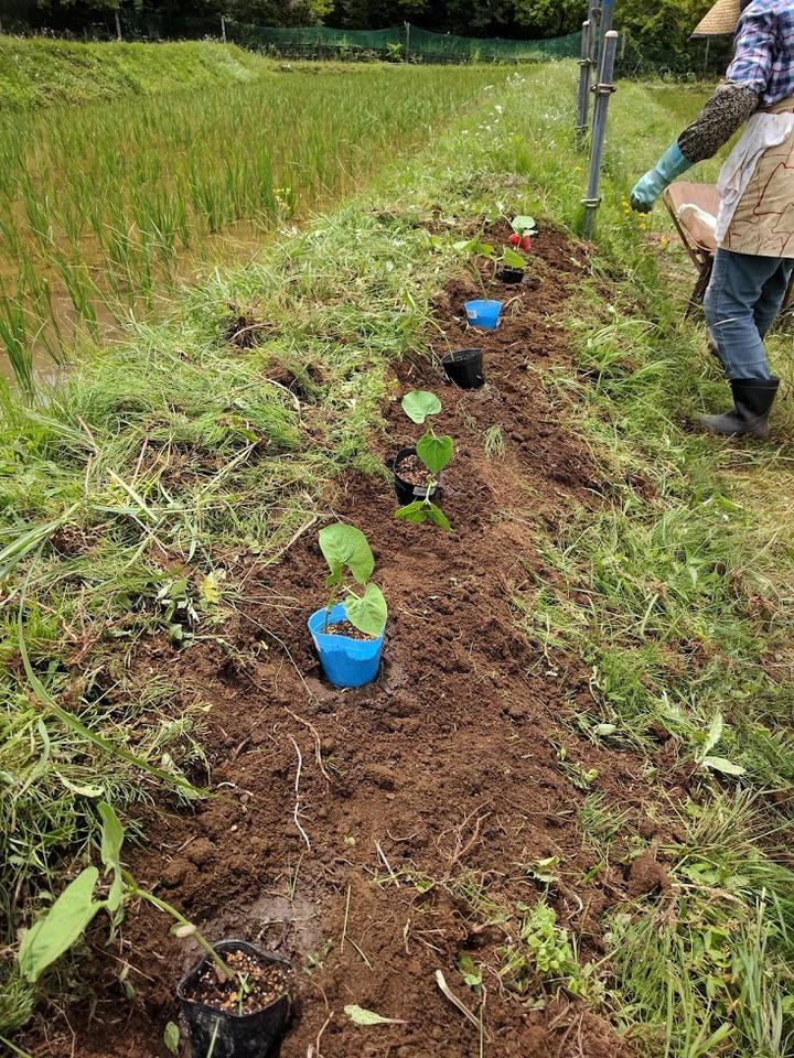 0614豆畑3モロッコ