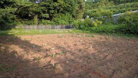 0611サトイモ畑その後.jpg