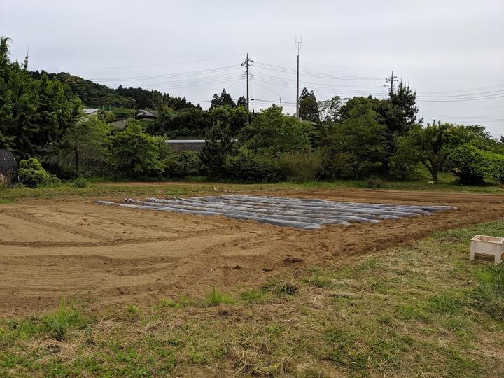 0518サツマイモ畑