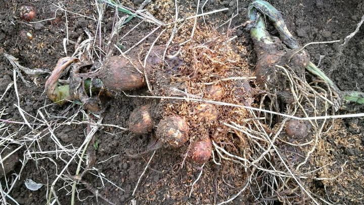 1122サトイモモミガラ栽培