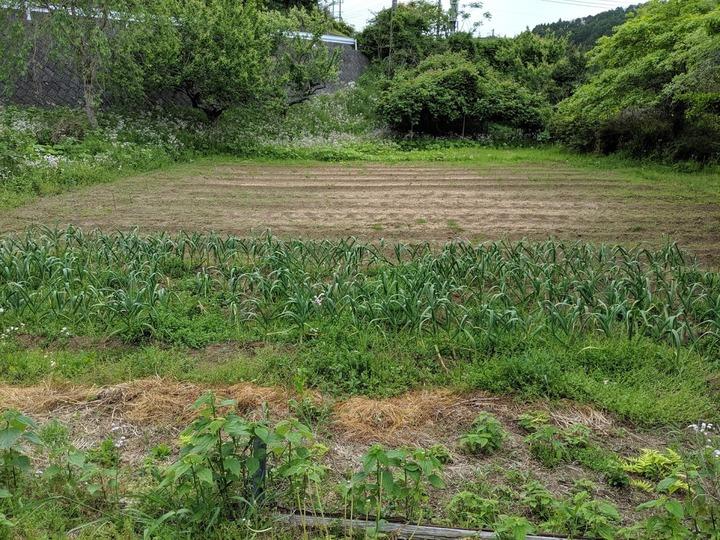 0518サトイモ畑