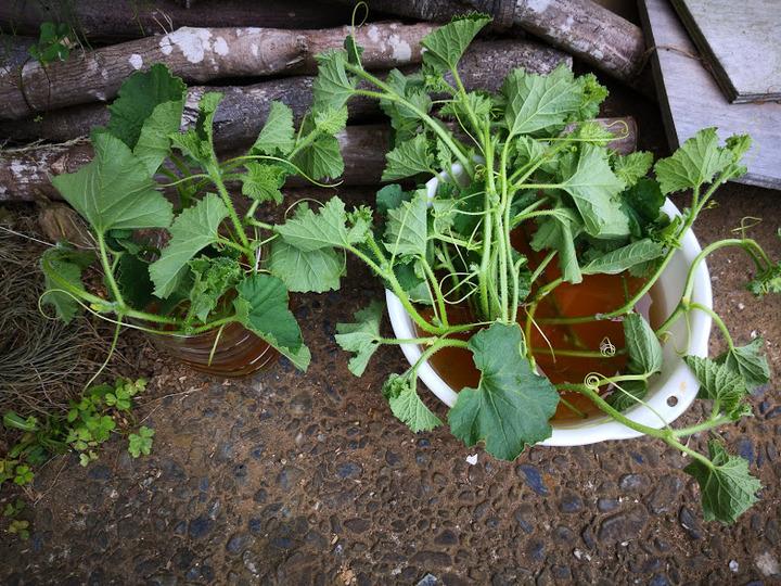 0530芽と根を出す