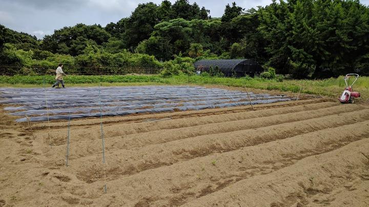 0531サツマイモ畑1