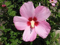 250px-Hibiscus_syriacus_2