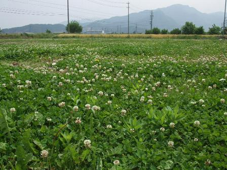 しろつめ草の野