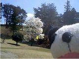 岡部チサン桜