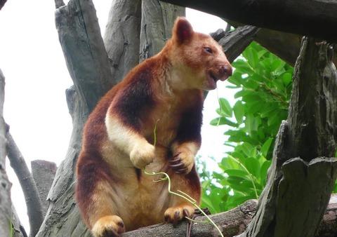 背筋木登りカンガルー