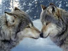 一夫一婦 狼