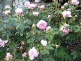 薔薇コレット