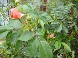 薔薇玄関ワキ
