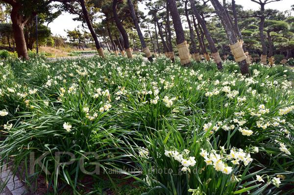 9954+55+56-B-250T 水仙咲く城ヶ島公園
