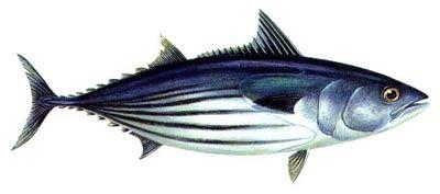 skipjack-tuna2[1]