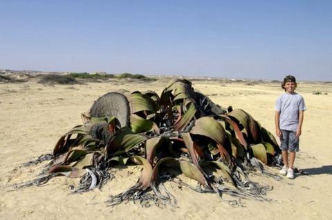 -Welwitschia[1]