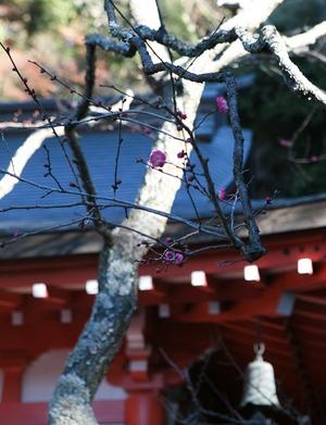 鎌倉荏柄天神社 寒紅梅