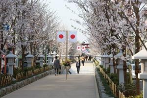 桜の参道段蔓