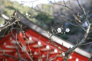 荏柄天神社梅写真5