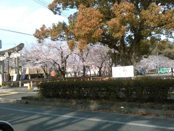 190329菊池神社桜