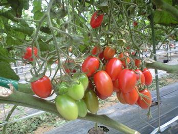 170306ミニトマト
