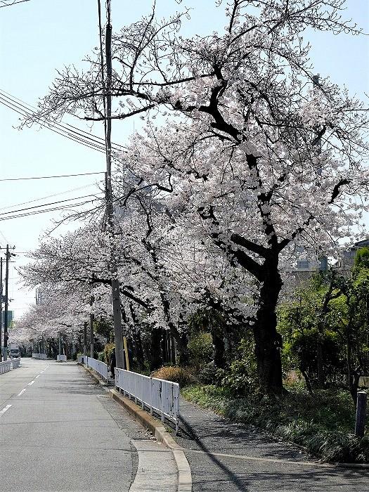 s-近所の桜1