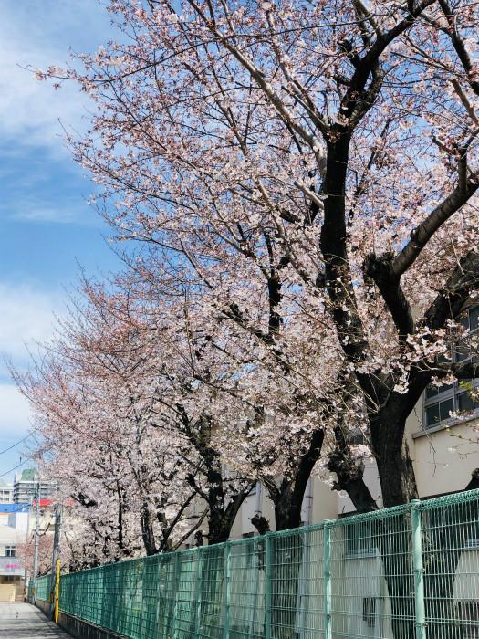 s19年桜1