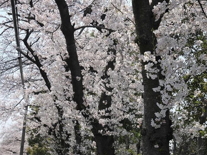 s-近所の桜2