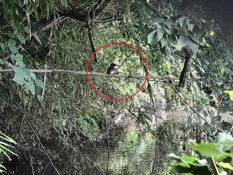 カワセミ幼鳥 下池 20200720