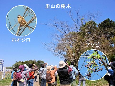 130413里山の樹木(宗甫)ホオジロ・アケビs