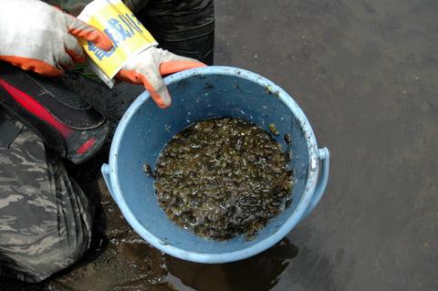 カエル救出作戦8月5日いっぱいのカエル