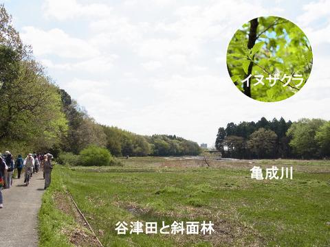 130413谷津田と斜面林(宗甫)イヌザクラs文字