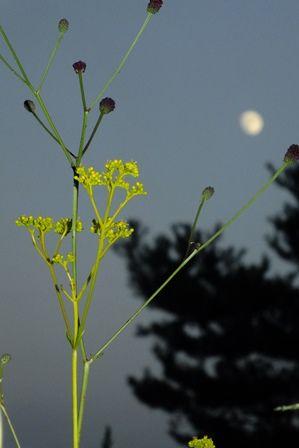月とオミナエシ