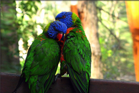rainbow-lorikeet-947196_128