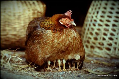 chicken-1607408_1280