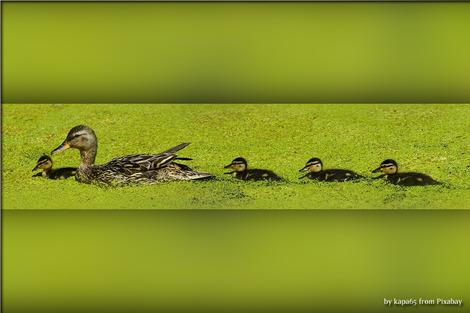 duck-3527585_1280