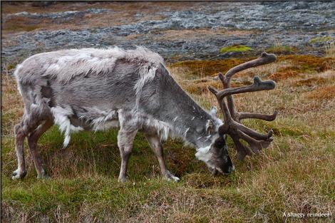 svalbard-reindeer-2144689_1
