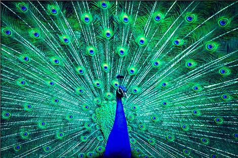 peacock-2115823_1280