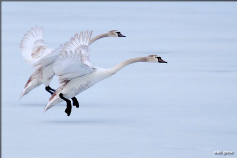 geese-2415834_1280